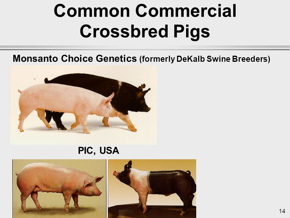 14 Common Commercial Crossbred Pigs Monsanto Choice Genetics (formerly DeKalb Swine Breeders) PIC, USA