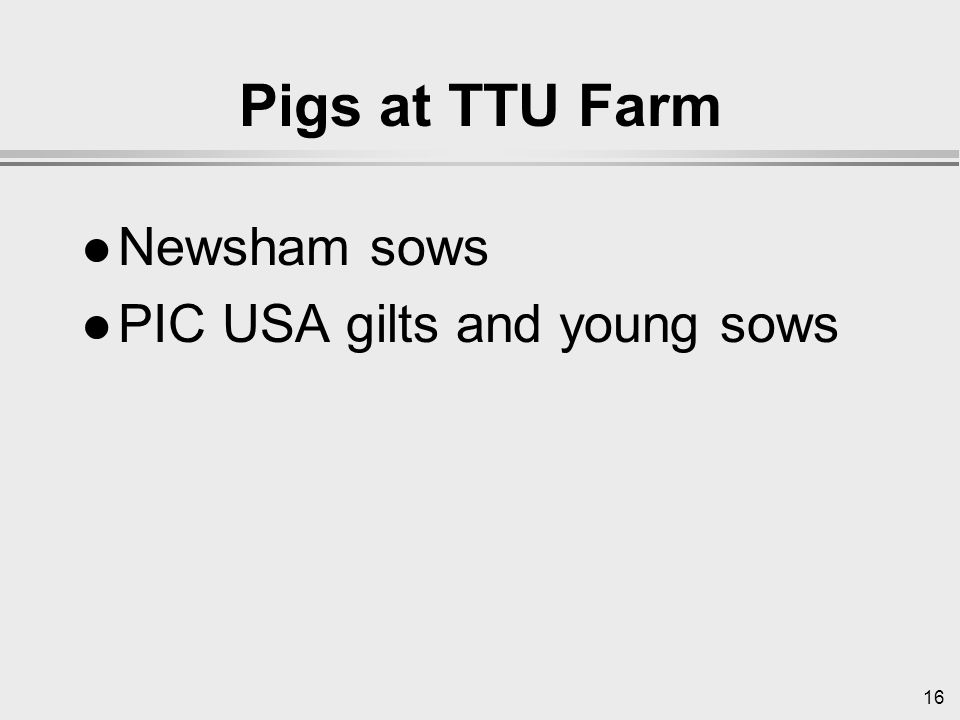 16 Pigs at TTU Farm l Newsham sows l PIC USA gilts and young sows