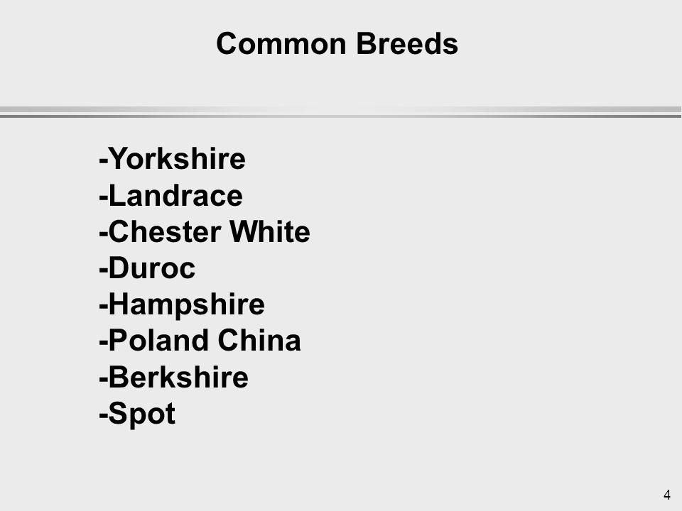 4 Common Breeds -Yorkshire -Landrace -Chester White -Duroc -Hampshire -Poland China -Berkshire -Spot