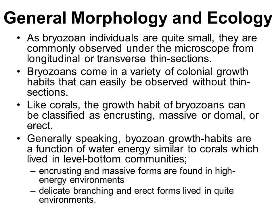 Terebratulida Most living brachiopod, are representative of the group; terebratulids.