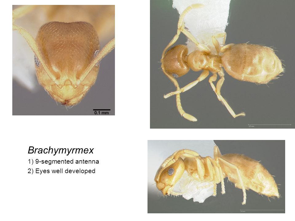 Brachymyrmex 1) 9-segmented antenna 2) Eyes well developed