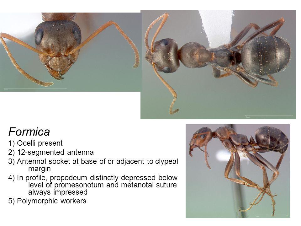 Polyergus 1) Falcate (sickle-shaped) mandibles 2) Ocelli present 3) 12-segmented antenna
