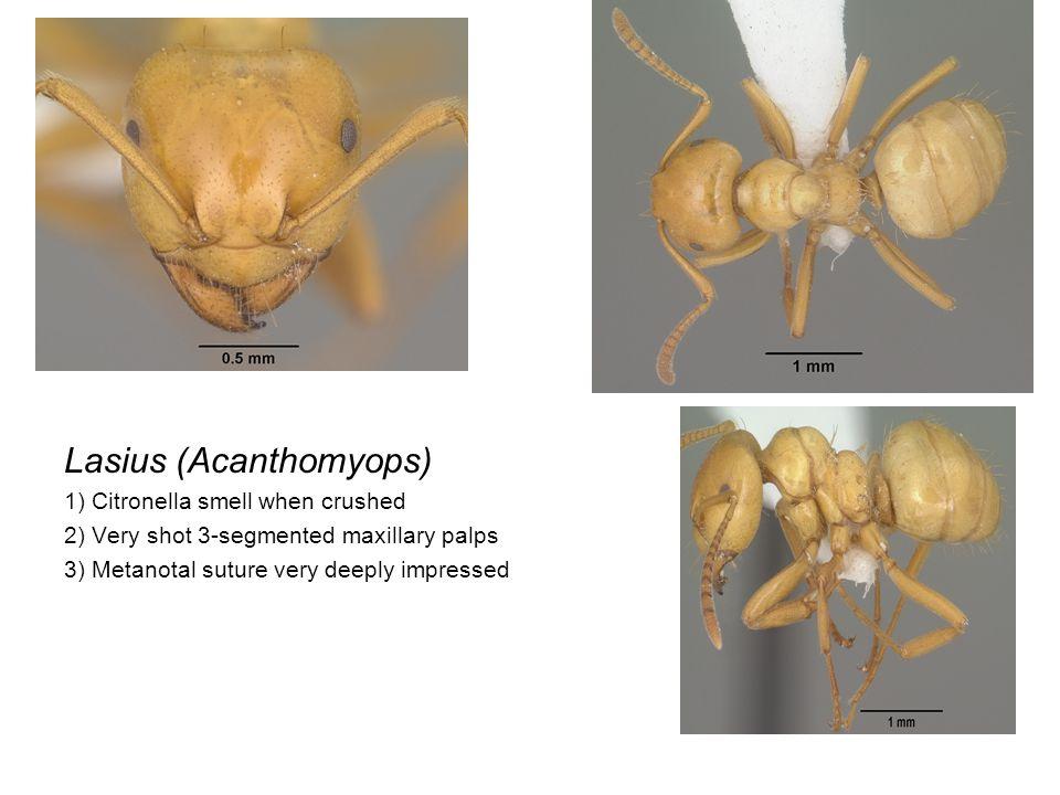 Lasius 1) Maxillary palps longer (6-segmented) 2) Metanotal suture very deeply impressed
