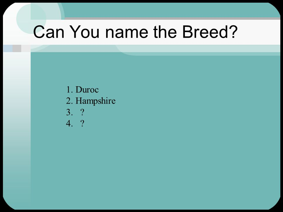 Can You name the Breed 1. Duroc 2. Hampshire 3. 4.