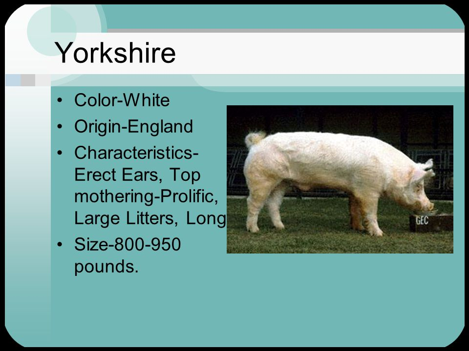 Yorkshire Color-White Origin-England Characteristics- Erect Ears, Top mothering-Prolific, Large Litters, Long.