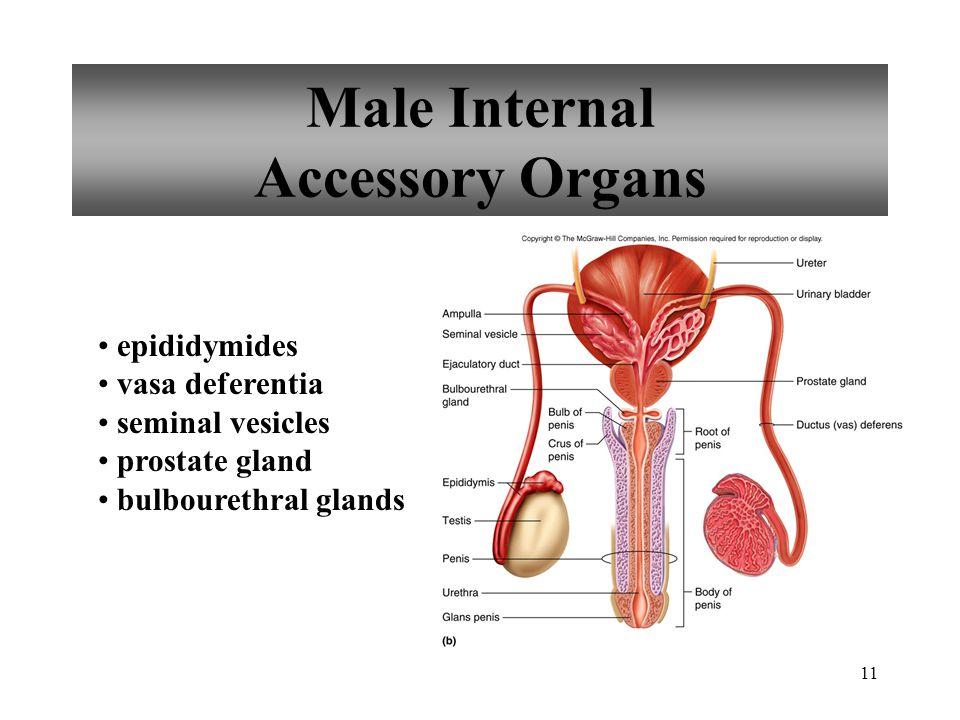 11 Male Internal Accessory Organs epididymides vasa deferentia seminal vesicles prostate gland bulbourethral glands