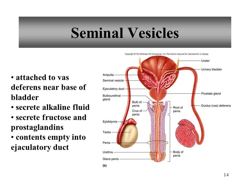 14 Seminal Vesicles attached to vas deferens near base of bladder secrete alkaline fluid secrete fructose and prostaglandins contents empty into ejacu