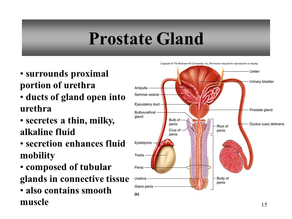 15 Prostate Gland surrounds proximal portion of urethra ducts of gland open into urethra secretes a thin, milky, alkaline fluid secretion enhances flu