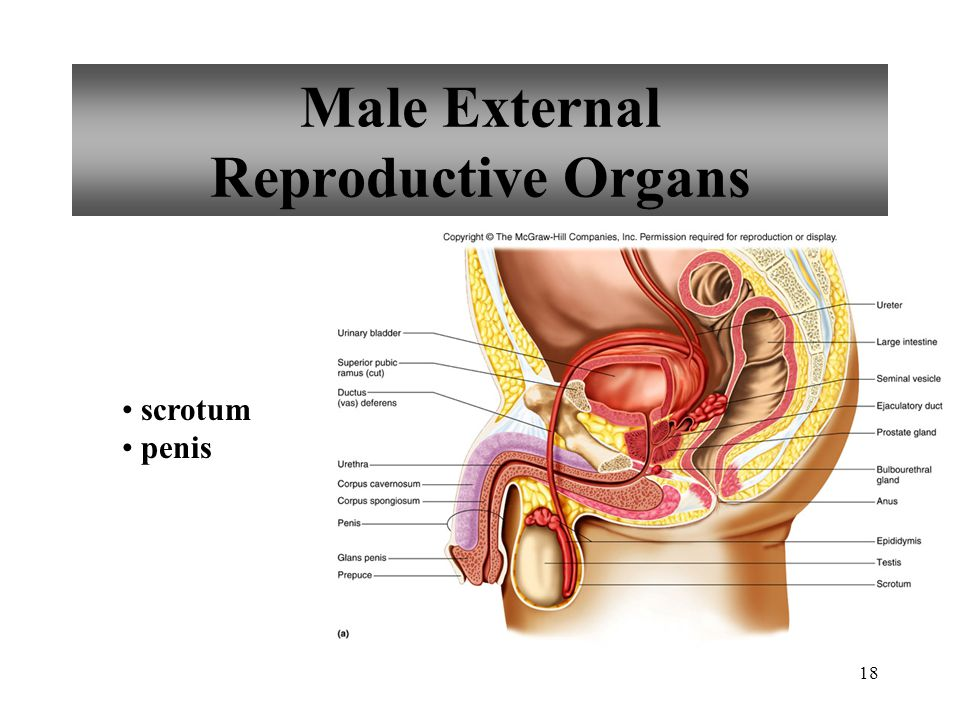 18 Male External Reproductive Organs scrotum penis