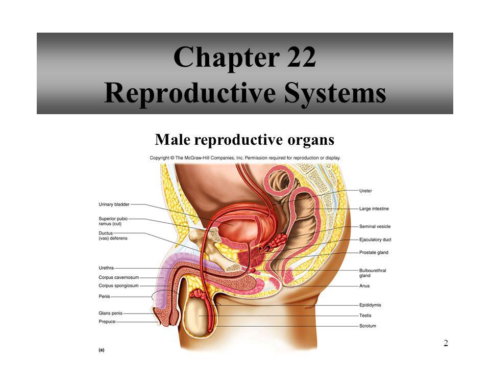23 Mechanism of Penile Erection