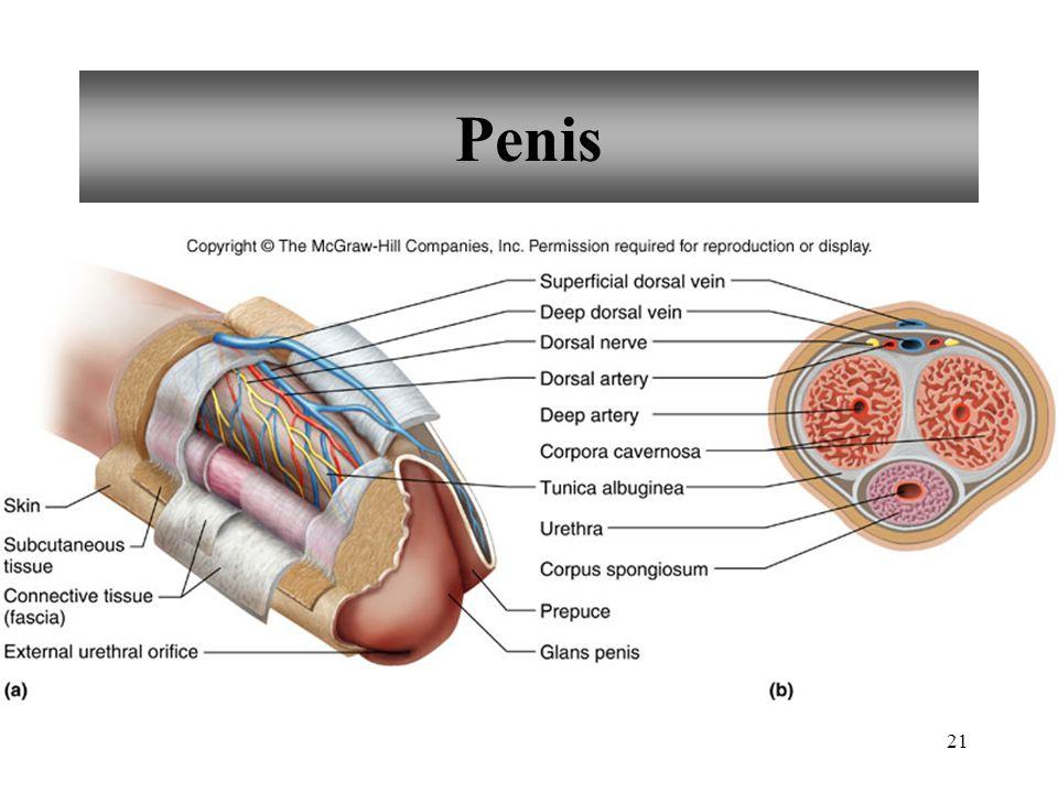 21 Penis