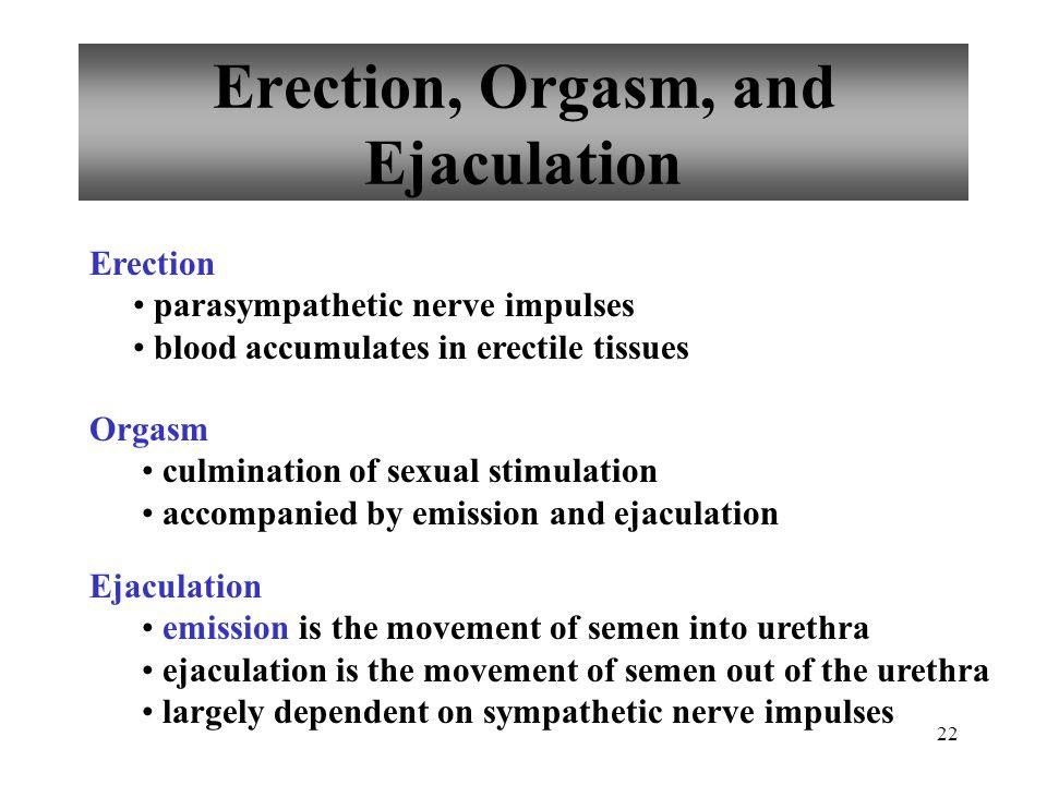 22 Erection, Orgasm, and Ejaculation Erection parasympathetic nerve impulses blood accumulates in erectile tissues Orgasm culmination of sexual stimul