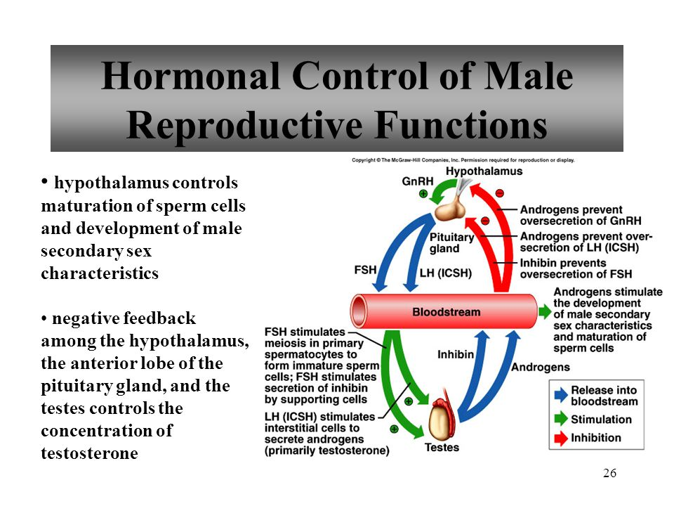 26 Hormonal Control of Male Reproductive Functions hypothalamus controls maturation of sperm cells and development of male secondary sex characteristi