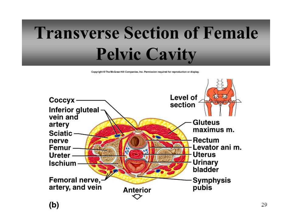 29 Transverse Section of Female Pelvic Cavity