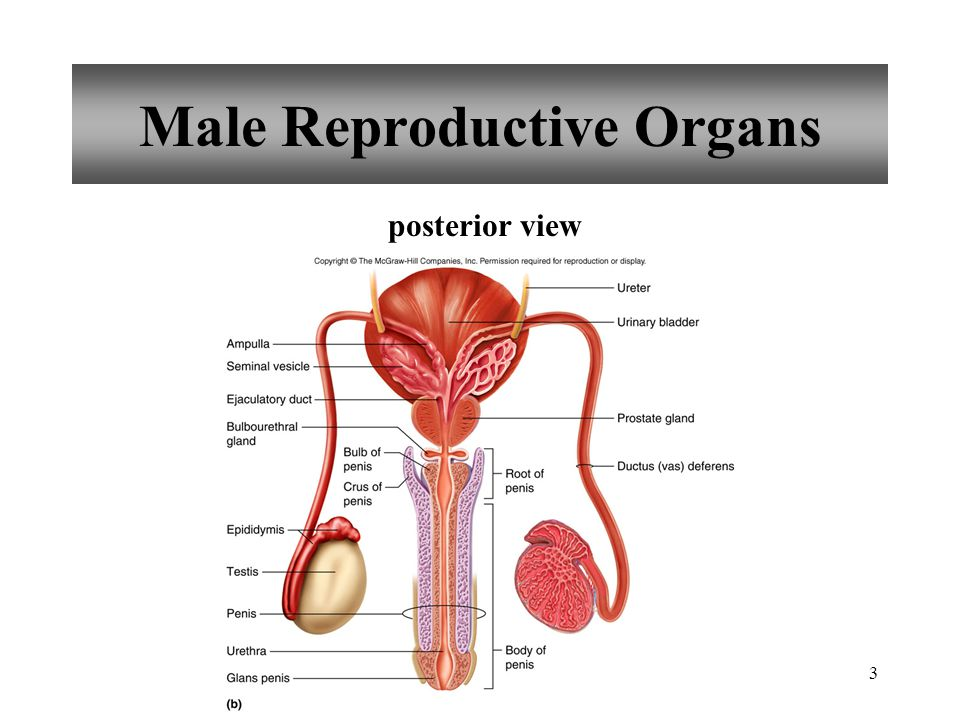 44 Labia Majora rounded folds of adipose tissue and skin enclose and protect the other external reproductive parts ends form a rounded elevation over the symphysis pubis