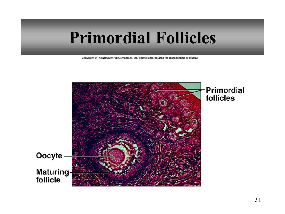 31 Primordial Follicles
