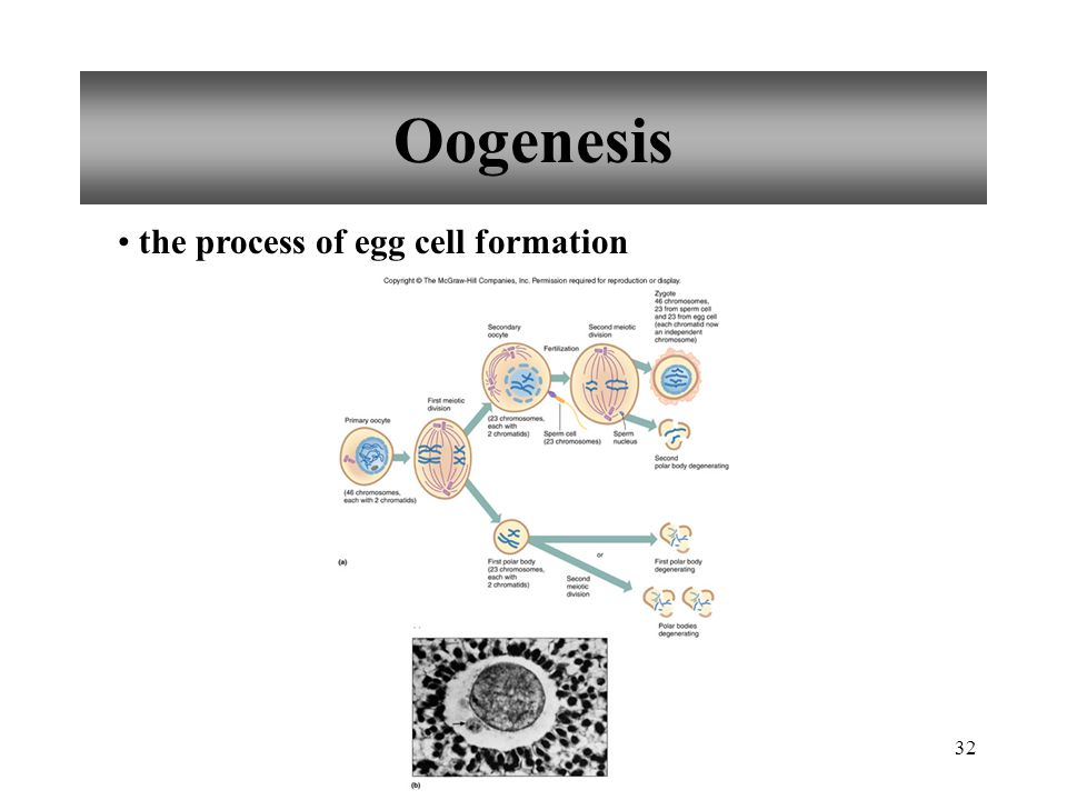 32 Oogenesis the process of egg cell formation