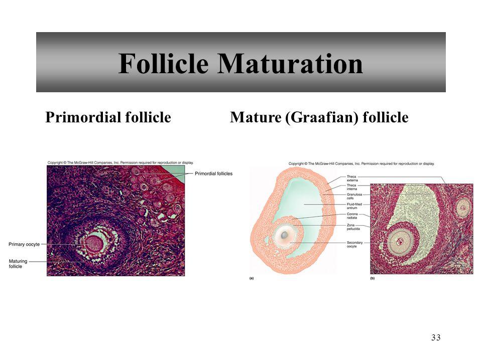 33 Follicle Maturation Mature (Graafian) folliclePrimordial follicle