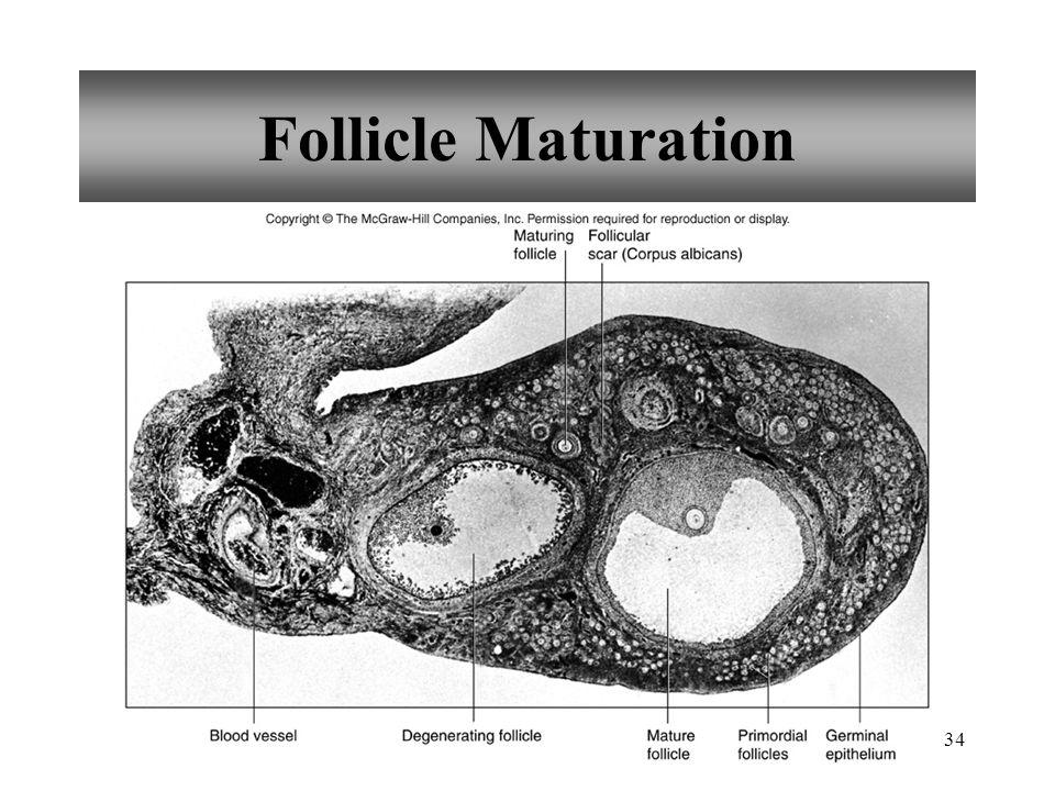 34 Follicle Maturation