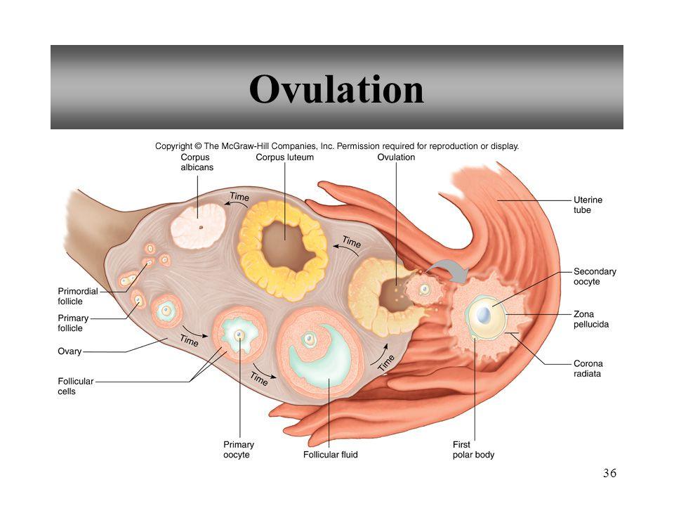 36 Ovulation