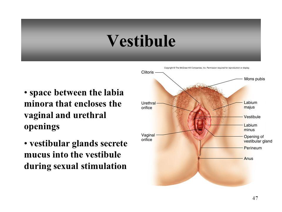 47 Vestibule space between the labia minora that encloses the vaginal and urethral openings vestibular glands secrete mucus into the vestibule during