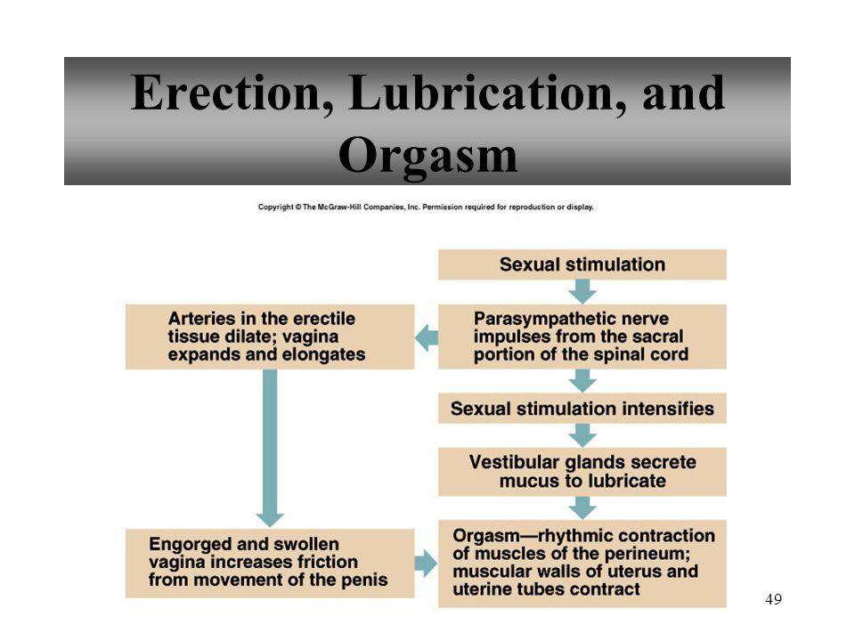49 Erection, Lubrication, and Orgasm