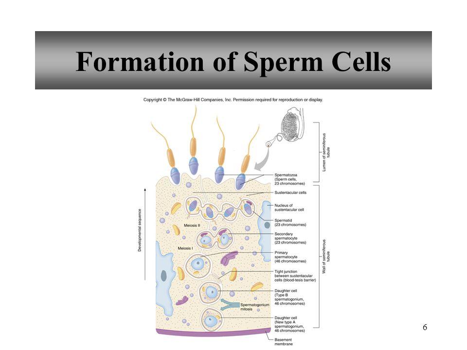17 Semen sperm cells secretions of seminal vesicles, prostate gland, and bulbourethral glands slightly alkaline prostaglandins nutrients 120 million sperm cells per milliliter