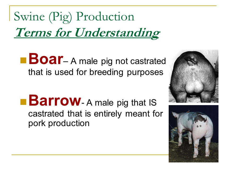 Swine (Pig) Production Terms for Understanding Boar – A male pig not castrated that is used for breeding purposes Barrow - A male pig that IS castrate