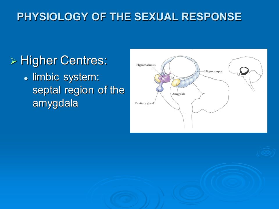 PHYSIOLOGY OF THE SEXUAL RESPONSE  Higher Centres: limbic system: septal region of the amygdala limbic system: septal region of the amygdala