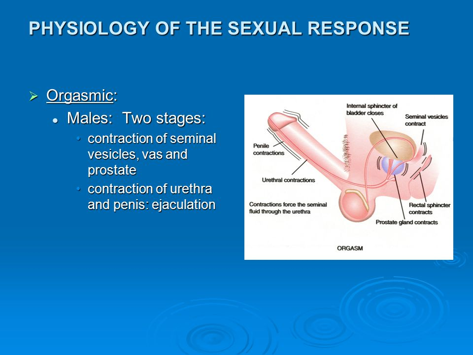 PHYSIOLOGY OF THE SEXUAL RESPONSE  Orgasmic: Males: Two stages: Males: Two stages: contraction of seminal vesicles, vas and prostatecontraction of se