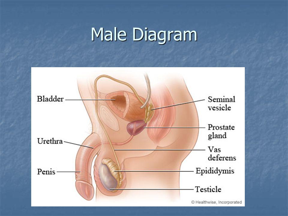 Male Diagram