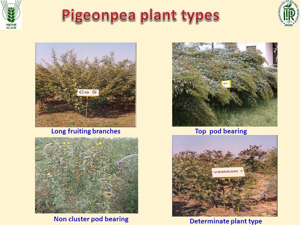 Long fruiting branchesTop pod bearing Non cluster pod bearing Determinate plant type