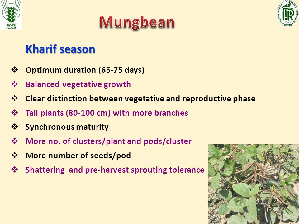  Optimum duration (65-75 days)  Balanced vegetative growth  Clear distinction between vegetative and reproductive phase  Tall plants (80-100 cm) with more branches  Synchronous maturity  More no.
