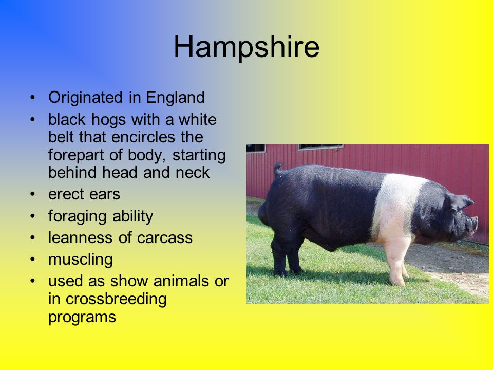 Hampshire Originated in England black hogs with a white belt that encircles the forepart of body, starting behind head and neck erect ears foraging ab
