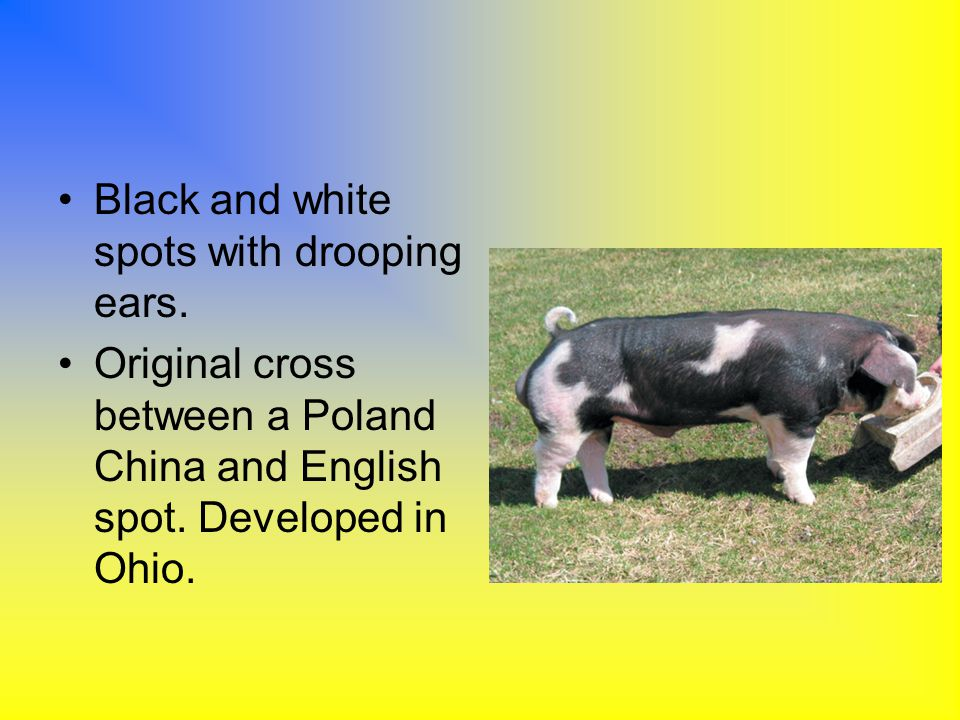 Black and white spots with drooping ears. Original cross between a Poland China and English spot. Developed in Ohio.