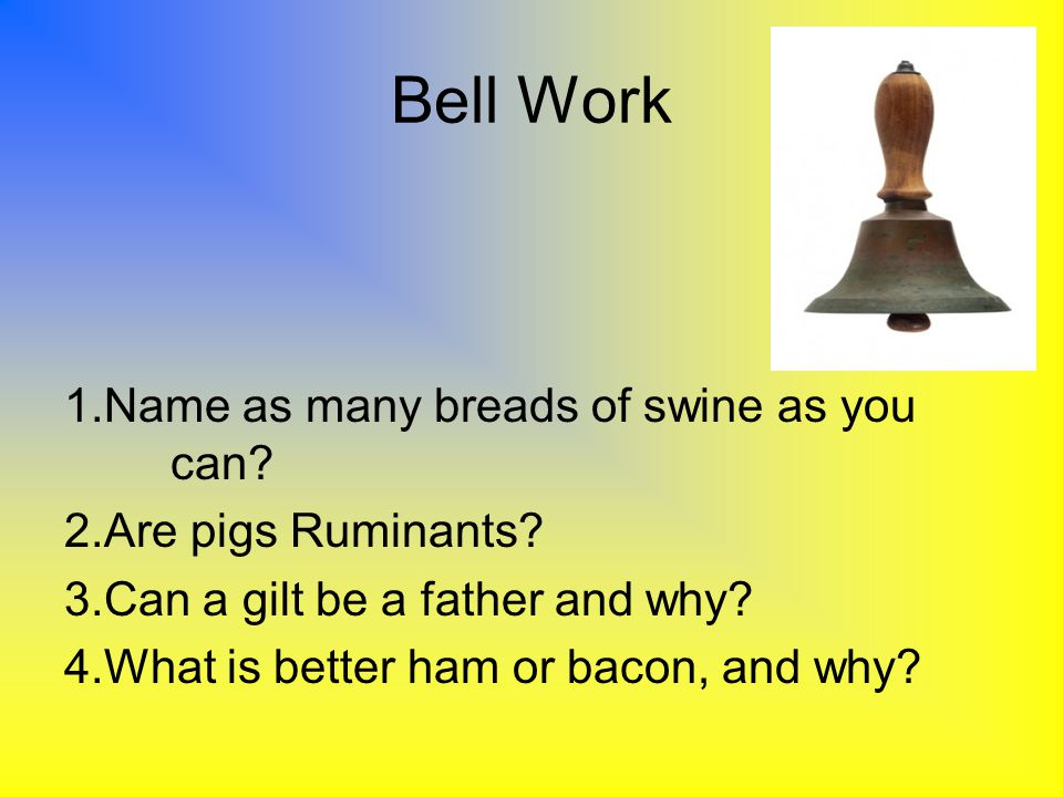 Bell Work 1.Name as many breads of swine as you can? 2.Are pigs Ruminants? 3.Can a gilt be a father and why? 4.What is better ham or bacon, and why?