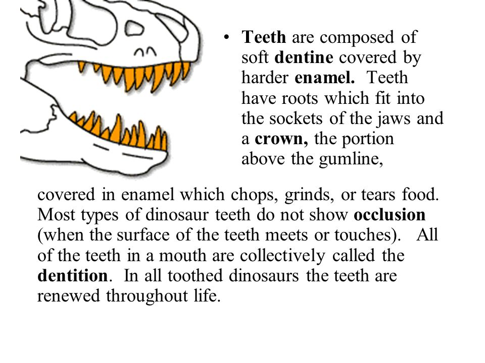 Teeth are composed of soft dentine covered by harder enamel. Teeth have roots which fit into the sockets of the jaws and a crown, the portion above th