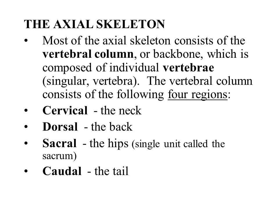 THE AXIAL SKELETON Most of the axial skeleton consists of the vertebral column, or backbone, which is composed of individual vertebrae (singular, vert