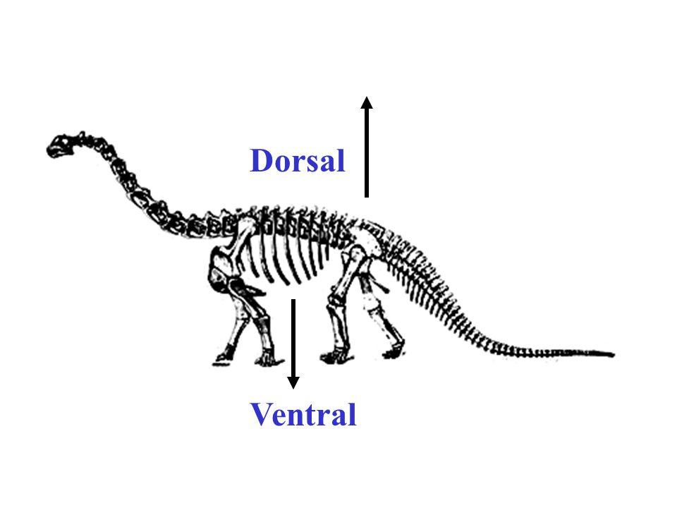 Dorsal Ventral