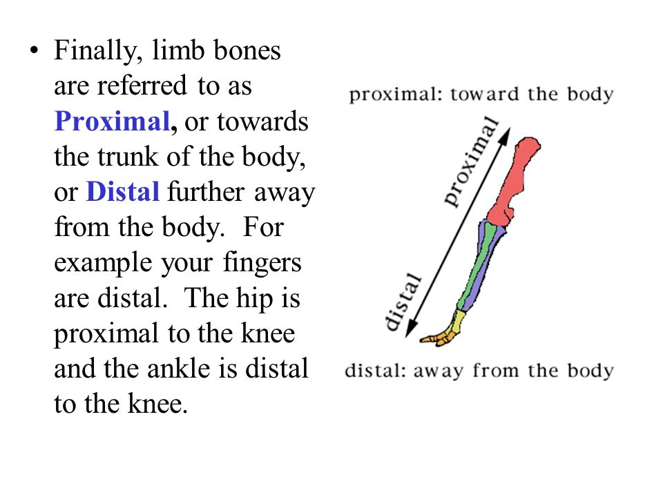 Finally, limb bones are referred to as Proximal, or towards the trunk of the body, or Distal further away from the body. For example your fingers are