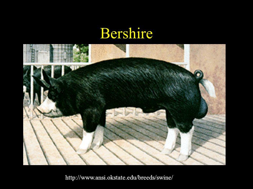 Bershire http://www.ansi.okstate.edu/breeds/swine/