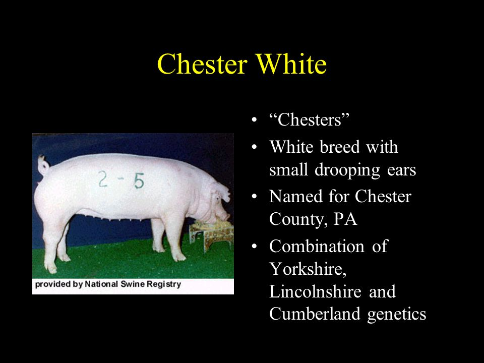 Chester White Chesters White breed with small drooping ears Named for Chester County, PA Combination of Yorkshire, Lincolnshire and Cumberland genetics