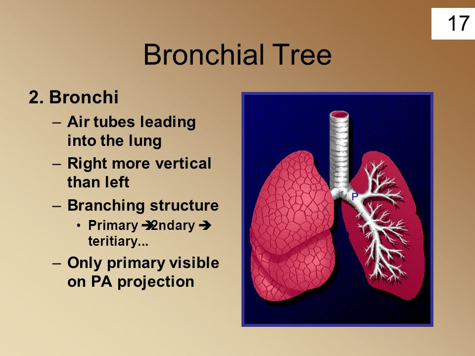 17 Bronchial Tree 2. Bronchi –Air tubes leading into the lung –Right more vertical than left –Branching structure Primary  2ndary  teritiary... –Onl