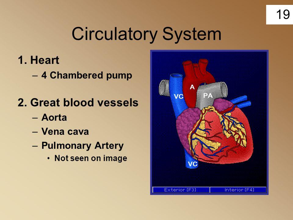 19 Circulatory System 1. Heart –4 Chambered pump 2. Great blood vessels –Aorta –Vena cava –Pulmonary Artery Not seen on image A VC PA