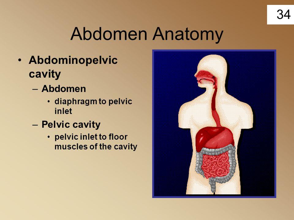 34 Abdomen Anatomy Abdominopelvic cavity –Abdomen diaphragm to pelvic inlet –Pelvic cavity pelvic inlet to floor muscles of the cavity