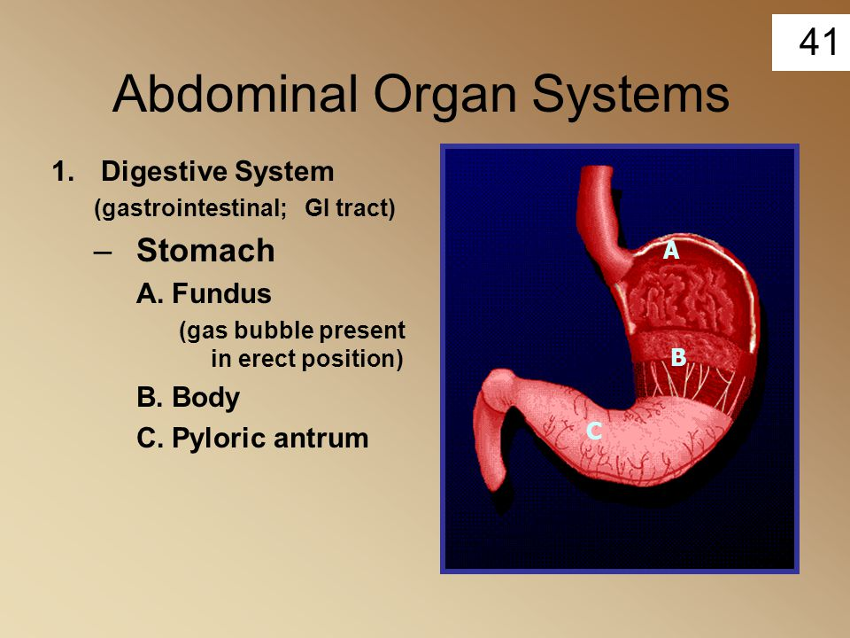41 Abdominal Organ Systems 1.Digestive System (gastrointestinal; GI tract) –Stomach A.Fundus (gas bubble present in erect position) B.Body C.Pyloric a