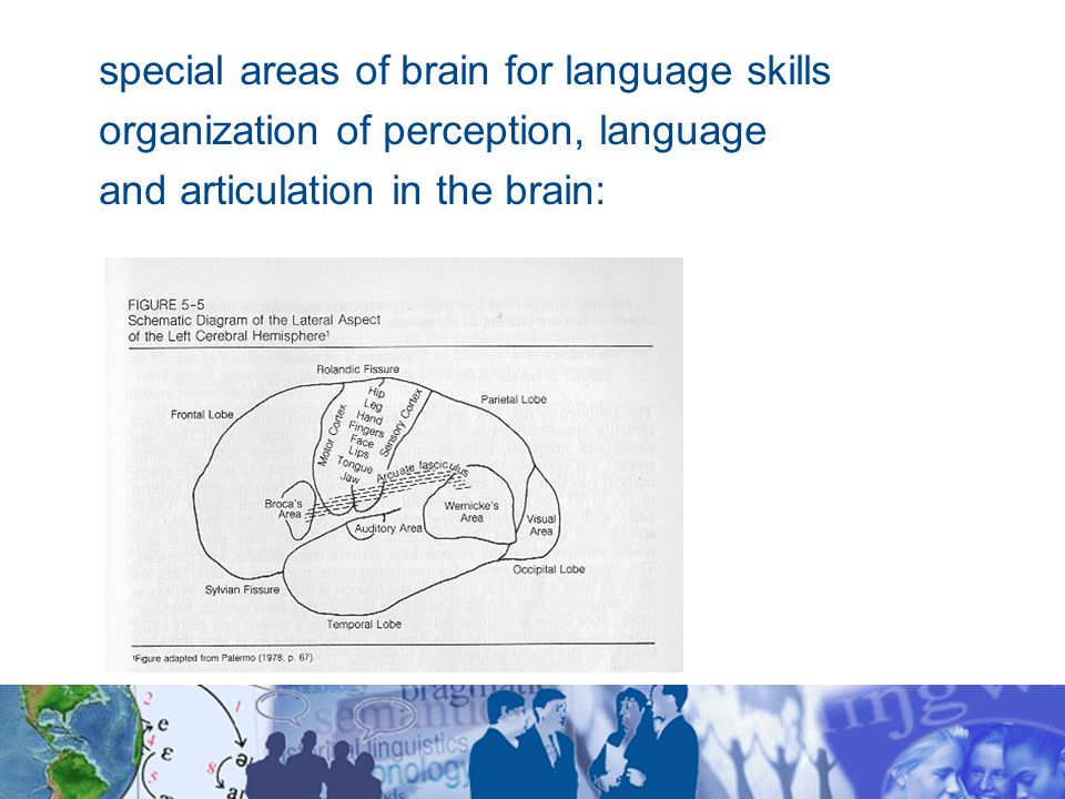special areas of brain for language skills organization of perception, language and articulation in the brain: