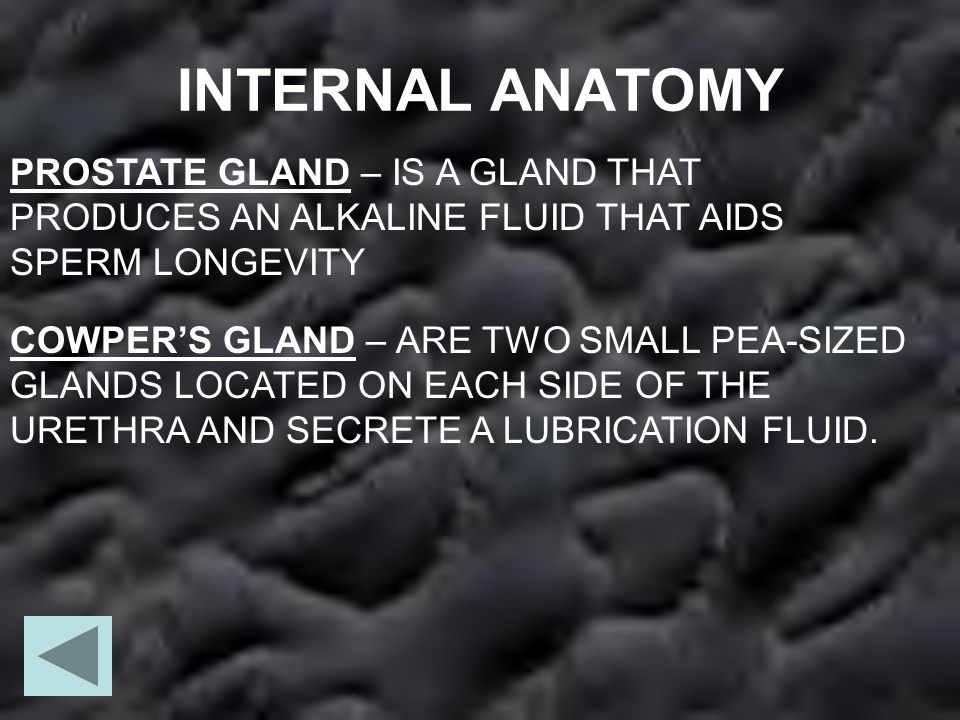 INTERNAL ANATOMY PROSTATE GLAND – IS A GLAND THAT PRODUCES AN ALKALINE FLUID THAT AIDS SPERM LONGEVITY COWPER'S GLAND – ARE TWO SMALL PEA-SIZED GLANDS