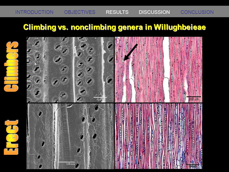 Climbing vs. nonclimbing genera in Willughbeieae INTRODUCTION OBJECTIVES RESULTS DISCUSSION CONCLUSION