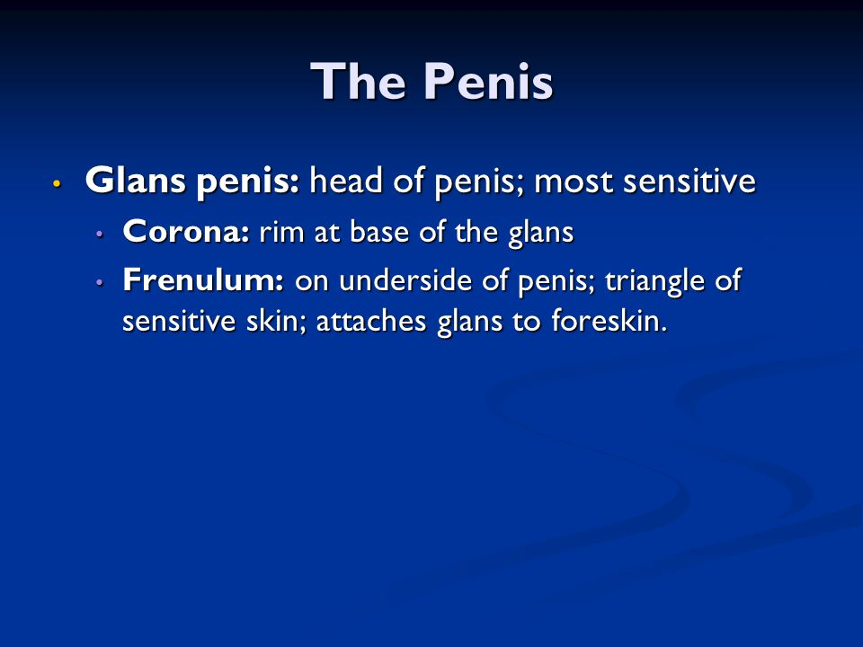 The Penis Glans penis: head of penis; most sensitive Glans penis: head of penis; most sensitive Corona: rim at base of the glans Corona: rim at base o
